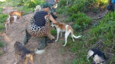 Acusan a dentista brasilero de matar a miles de jaguares protegidos