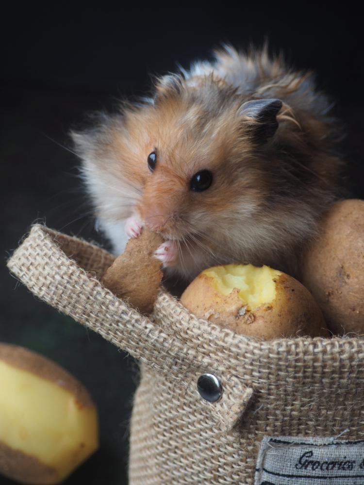 hamster-comiendo