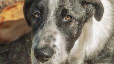 Perrito extraña mucho a su hermano peludo fallecido, una almohada con su foto es la solución
