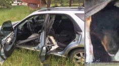 Un oso salvaje después de estrellar un auto contra un árbol huye de la escena