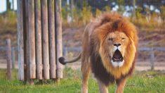 Pareja recibe fuertes críticas por sacarse una foto besándose junto a un león muerto