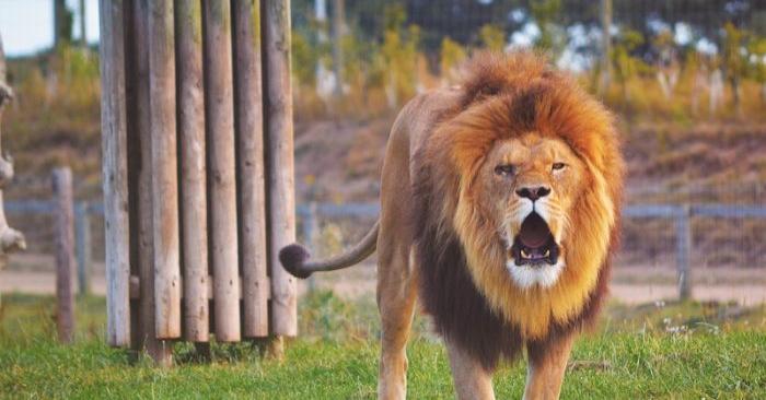 Foto de archivo de un león sentado en un campo de césped. (Adam King/Unsplash)