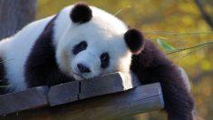 Filman a turista apedreando a un panda gigante para que se mueva en un zoo de China