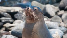 Emotivo rescate en Argentina: lobo de mar que tenía un neumático en su cuello ahora nada en libertad