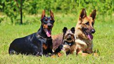 Basta de colas y orejas cortadas: Colombia aprueba una ley para proteger a muchos animalitos