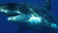 Salvan a tiburón de 2 metros atrapado en un anillo de plástico que cortaba su cuerpo