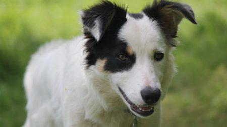 Le dan el último adiós al perro mas inteligente del mundo, ¡reconocía más de mil sustantivos!