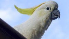Filman a una cacatúa australiana que arranca púas anti-aves de un edificio y las arroja a la calle