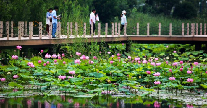 Un estanque de flores de loto en China. (STR/AFP/Getty Images)