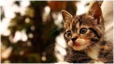 """""""Micro gatita"""" es salvada cuando estaba a punto de perder la vida: le falta tamaño y le sobra alegría"""