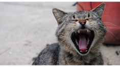 """Mujer china piensa que su gato es """"tan feo"""", que decide gastar 1500 dólares en una cirugía plástica"""