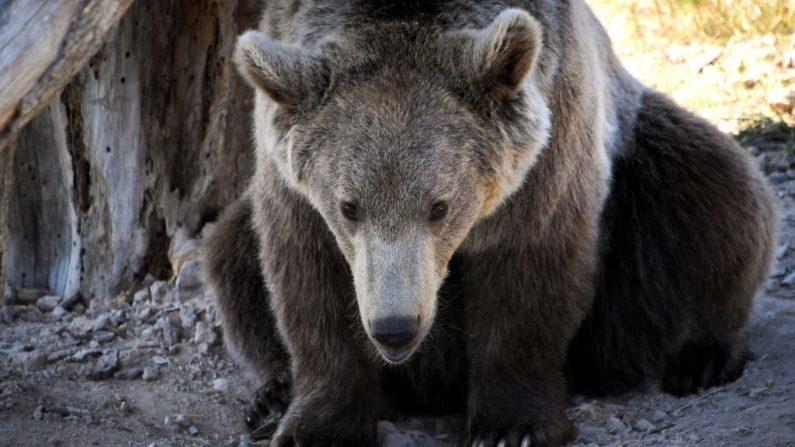 Imagen de archivo de un oso pardo de Europa. (LOIC VENANCE/AFP/Getty Images)