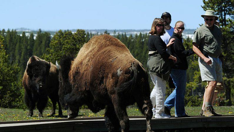 El bisonte americano, también conocido como búfalo, pasa cerca de unos turistas en el Parque Nacional Yellowstone, Wyoming, el 1 de junio de 2011. (MARK RALSTON / AFP / Getty Images)