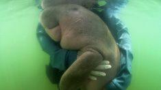 Bebé dugongo huérfano encontrado varado en una playa se roba corazones en Tailandia