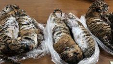 Encuentran siete tigres bebés congelados en un auto en Vietnam