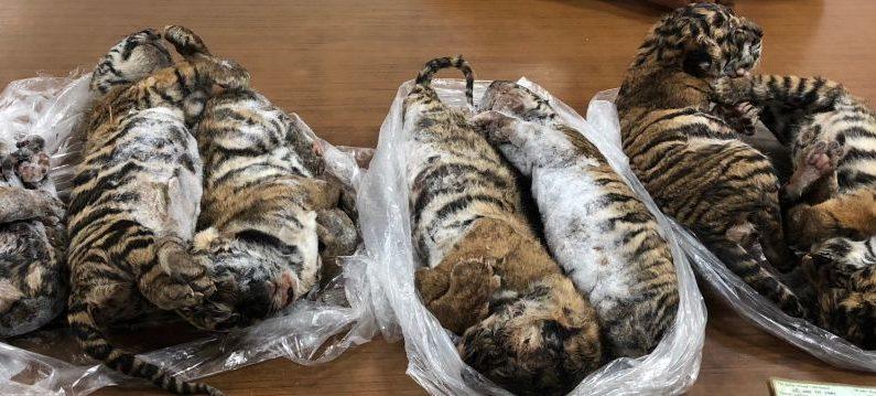 En esta imagen tomada el 23 de julio de 2019, se fotografían en Hanoi siete cadáveres de tigres capturados por la policía, encontrados en un automóvil en un estacionamiento de Hanoi. Esto ha llevado al arresto de un sospechoso clave de tráfico de vida silvestre, dijeron los medios estatales vietnamitas el 26 de julio, mientras el país trata de abordar una ruta de contrabando muy desgastada desde Laos. (NAM GIANG / AFP / Getty Images)