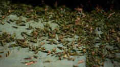 Las Vegas sufre una invasión de saltamontes tan masiva que la detectan los radares