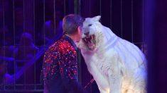 Domador de tigres del circo Orfei muere atacado por sus cuatro felinos
