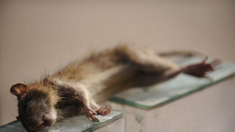 Imagen de archivo de una rata muerta. Las autoridades de California planean exterminan con veneno la invación de ratas en las islas Farallon (MUNIR UZ ZAMAN/AFP/Getty Images)