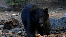 Capturan foto de un oso disfrutando un amanecer panorámico en la terraza de un resort