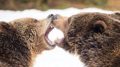 Fotógrafo filma extraordinaria pelea de dos osos en un bosque de Finlandia