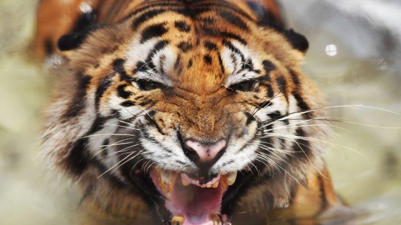 Tigre de bengala. Imagen de archivo. (DIBYANGSHU SARKAR/AFP/Getty Images)