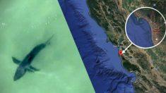 Dan la voz de alarma: pilotos de avión divisan grandes tiburones en zona de playas de California