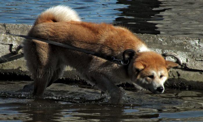 Foto de archivo que muestra a un perro de raza Akita japonés. (Artem Labunsky/Unsplash)
