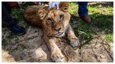Zoológico arranca las garras a leona de 14 meses para que los niños puedan jugar con ella