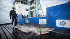 Gran tiburón blanco de 350 kilos aparece con un rastreador a pocos kilómetros de la costa de Cape May