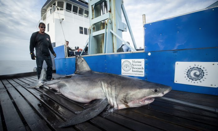 """Tiburón de 3 metros y 350 kilos apodado """"Miss May"""" a bordo de un barco de investigación. (OCEARCH)"""