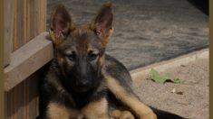 Cachorrita de 3 meses llora cuando sus dueños la dejan en refugio para ser sacrificada