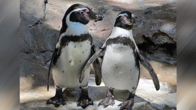 Policía desaloja a dos pingüinos de un bar de sushi, pero al rato regresan desafiando a la autoridad