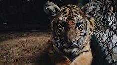 Lanzan un asno aterrorizado al foso del tigre en un Zoo, una tendencia inquietante en China
