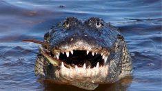 Ven a 10 caimanes arrastrando un cuerpo en un lago de Florida, informó la policía