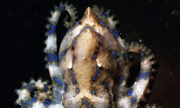 El pulpo de anillo azul tiene un poderoso veneno que es una toxina paralizante neuromuscular. Su picadura puede causar parálisis y luego la muerte si no se busca tratamiento médico. (Ian Waldie/Getty Images)