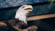 Roban una emblemática águila calva de un refugio de vida silvestre y temen no volver a verla