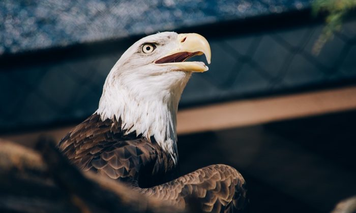Imagen de archivo de un águila calva. (Free-Photos/Pixabay)