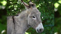 La vida de este burro estaba en juego, hasta que 12.000 personas firmaron la petición para salvarlo