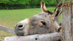 Horrible vídeo muestra cómo se golpea a los burros y se les obliga a transportar turistas con sobrepeso