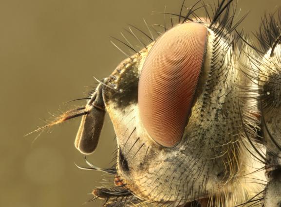 Cabeza de una mosca (Wikimedia Commons)
