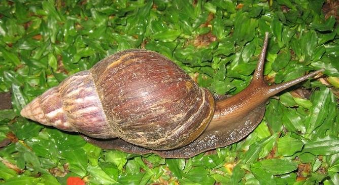 Caracol gigante africano (Achatina fulica) introducido intencionalmente como recurso alimenticio para consumo humano, se volvió en una plaga agrícola a nivel mundial. (Wikimedia Commons)
