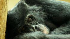 Chimpancé moribunda se niega a moverse, hasta que levanta la vista y reconoce a su viejo amigo