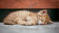 Gato con herida de bala acude a una sala de emergencias en busca de ayuda