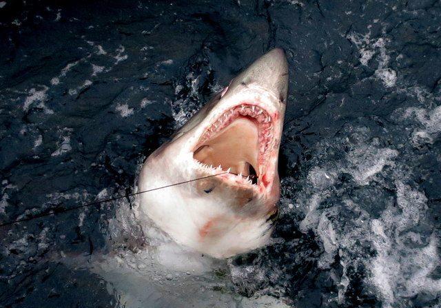 Foto de un tiburón cailón (Lamna nasus), en ingles conocido como porbeagle shark. Foto de www.geograph.org.uk licencia Creative Commons Licence.