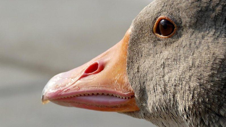 Imagen ilustrativa de un ganso. (Harald_Landsrath   Pixabay)