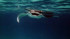 Rayas saltan del agua y vuelan durante unos segundos en el Golfo de California (video)