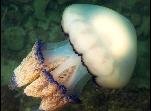 Medusa barril del tamaño de una peersona fue vista el 9 de julio de 2019 en las costas británicas. Imagen de archivo. (Wikimedia Commons)
