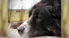 Perro desfigurado por un bozal de alambre fue supuestamente golpeado por su dueño hasta casi morir