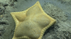 """Presentan una curiosa estrella de mar con forma de """"raviol"""""""